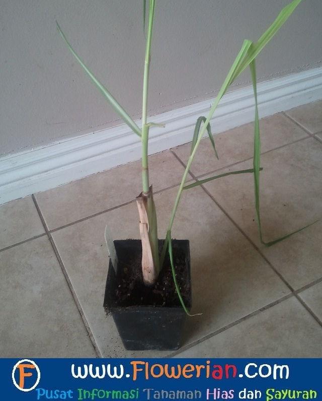 Gambar Foto cara menanam serai hingga bertunas