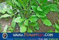 Gamba Foto cara menanam daun dewa agar subur