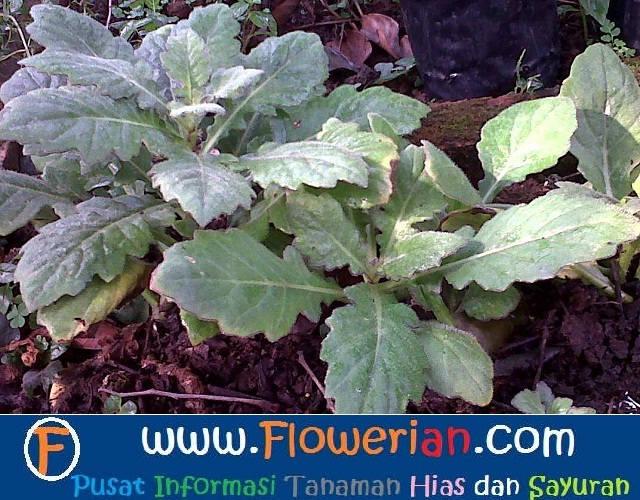Gamba Foto cara menanam daun dewa di lahan rumah