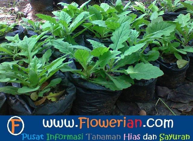 Gamba Foto cara menanam daun dewa di polybag