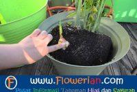 Gambar Foto cara menanam jahe agar cepat bertunas