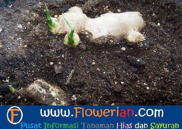 Gambar Foto cara menanam jahe yang baik dan benar