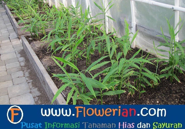 Gambar Foto cara menanam jahe di tanah