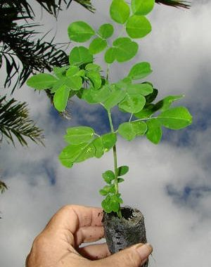 Gambar Foto cara menanam pohon kelor yang baik dan benar