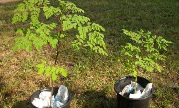 Gambar Foto cara menanam pohon kelor di pot