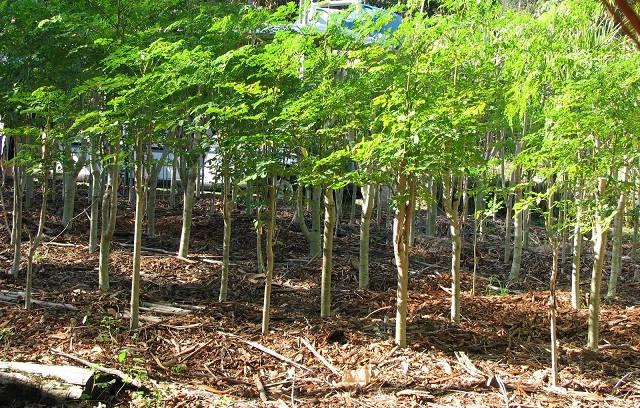 Gambar Foto cara menanam pohon kelor untuk budidaya