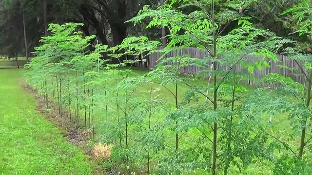 Gambar Foto cara menanam pohon kelor untuk pagar