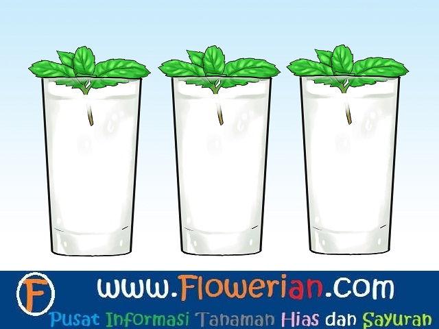 Gambar Foto cara menanam tumbuhan mint dengan air
