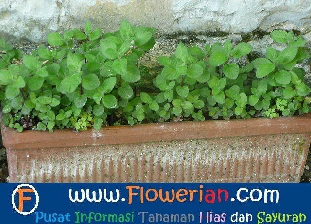 Gambar Foto ccara menanam tumbuhan mint di pekarangan