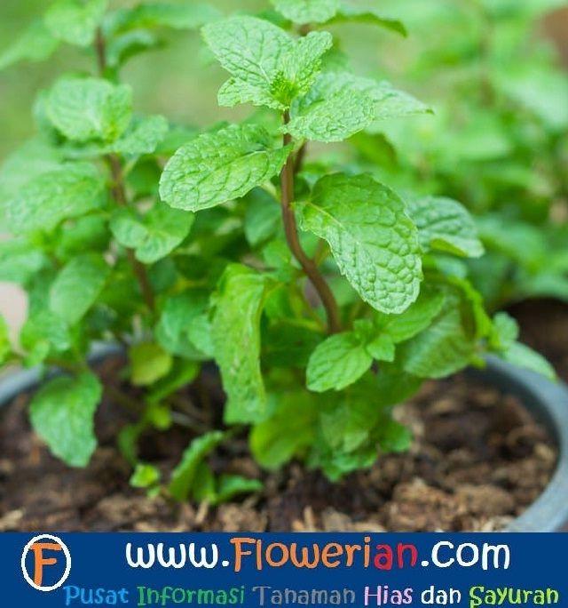 Gambar Foto cara menanam tumbuhan mint di pot rumah