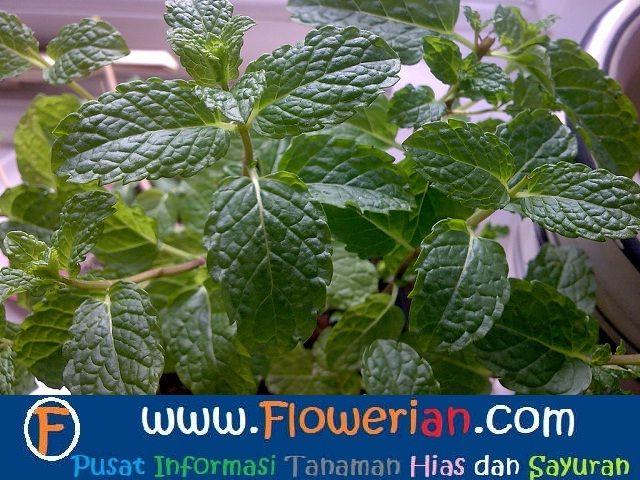 Gambar Foto cara menanam tumbuhan mint secara organik