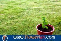 Gambar Foto cara menanam tumbuhan mint yang benar