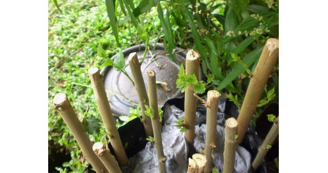Gambar Foto Cara Menanam Murbei dengan Stek Agar Cepat Tunas