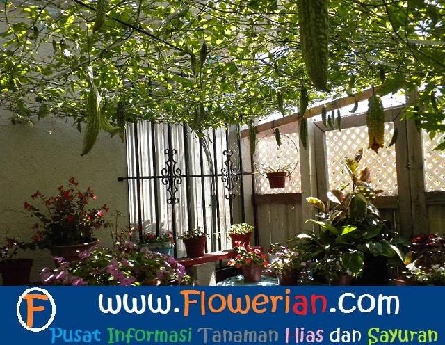 Gambar Foto Cara Menanam Pare di Kebun Rumah