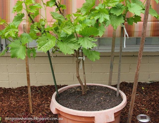 Gambar Foto Cara Menanam Anggur Dari Biji Menggunakan Pot Rumah