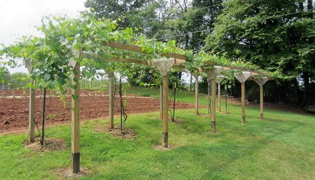 Gambar Foto Cara Menanam Anggur Dari Biji agar Tubuh Maksimal