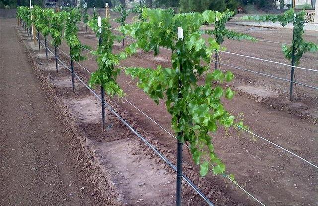 Gambar Foto Cara Menanam Anggur Dari Biji dengan Memasang Kawat