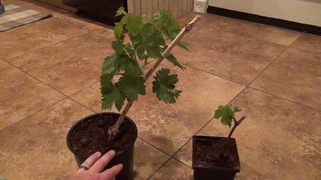 Gambar Foto Cara Menanam Anggur Dari Biji di Dalam Pot