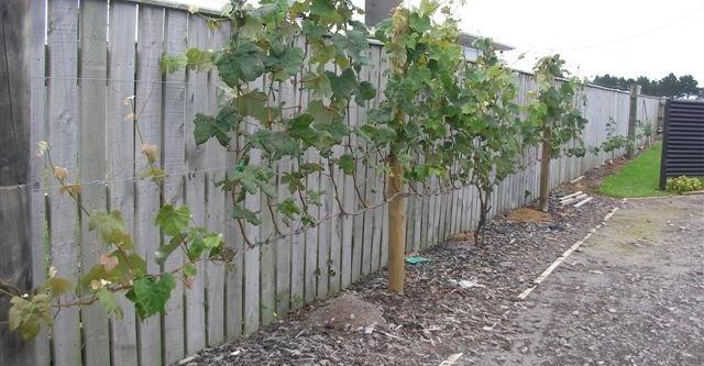 Gambar Foto Cara Menanam Anggur Dari Biji di Kebun Rumah