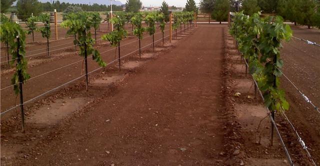 Gambar Foto Cara Menanam Anggur Dari Biji untuk Pertanian