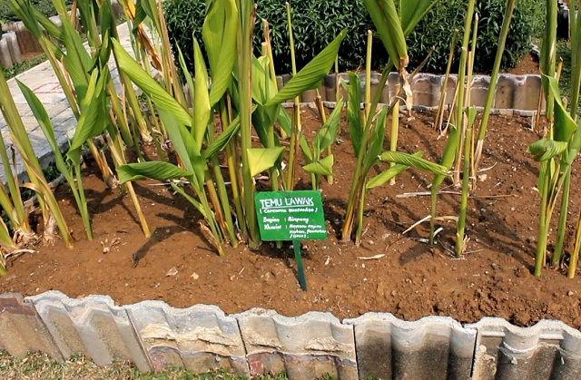 Cara Menanam Empon Empon yang Mudah dan Cepat   Tanaman Hias Bunga Buah dan Sayur