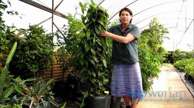 Cara Menanam Vanili untuk Budidaya | Flowerian.Com