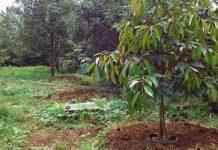 Gambar Foto Cara Menanam Durian Montong agar Cepat Berbuah