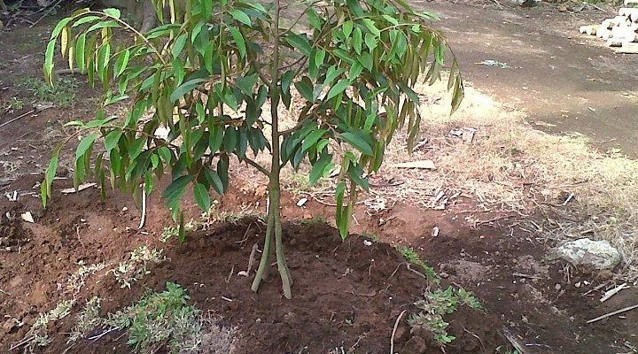 Gambar Foto Cara Menanam Durian Montong di Tanah Kebun
