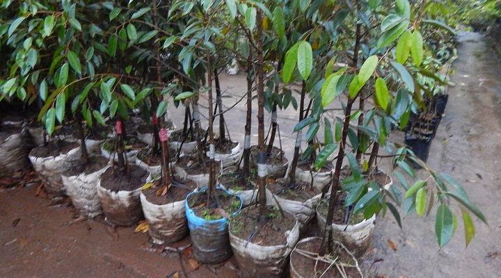 Gambar Foto Cara Menanam Durian Montong yang Benar