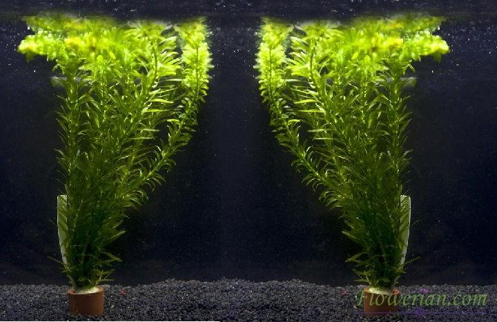 Gambar Foto Cara Menanam Egeria Densa untuk Mempercantik Aquarium