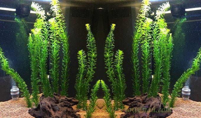 Gambar Foto Cara Menanam Egeria Densa yang Baik di Aquarium