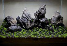 Gambar Foto Cara Menanam Emersed di Aquarium Mini