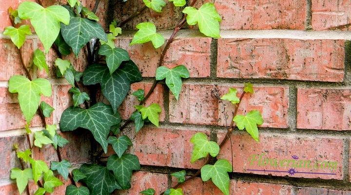 Gambar Foto Cara Menanam English Ivy Supaya Cepat Mengembang