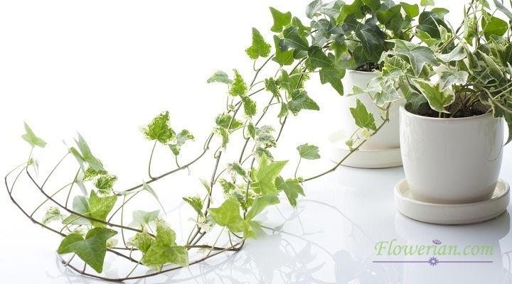 Gambar Foto Cara Menanam English Ivy di Dalam Pot