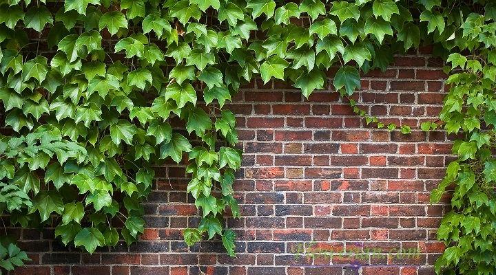 Gambar Foto Cara Menanam English Ivy pada Tembok Halaman