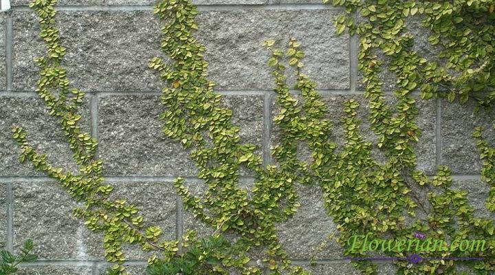 Gambar Foto Cara Menanam Ficus Repens Agar Menempel Di Tembok