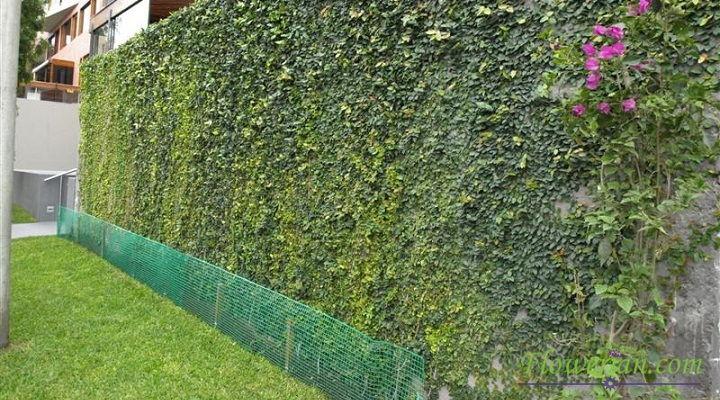 Gambar Foto Cara Menanam Ficus Repens Sebagai Penghias Tembok