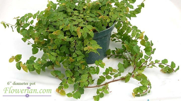 Gambar Foto Cara Menanam Ficus Repens agar Subur