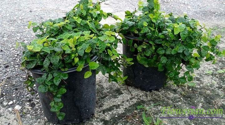 Gambar Foto Cara Menanam Ficus Repens di Dalam Pot