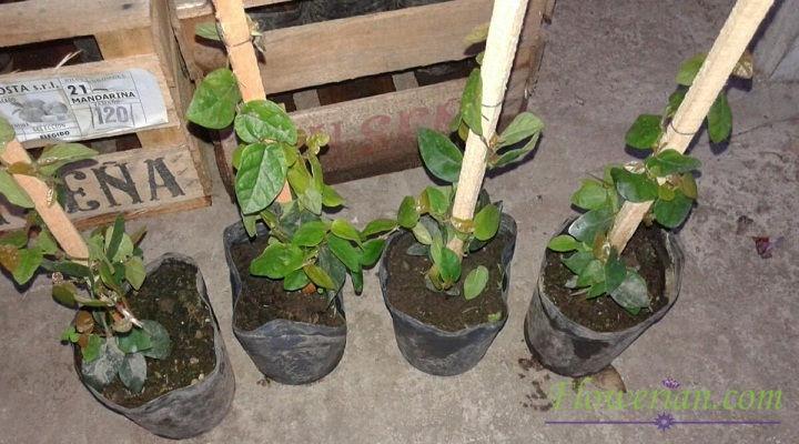 Gambar Foto Cara Menanam Ficus Repens di Polybag