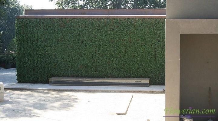 Gambar Foto Cara Menanam Ficus Repens di Tembok Rumah