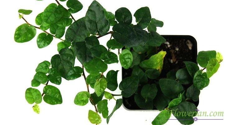 Gambar Foto Cara Menanam Ficus Repens untuk Pembibitan
