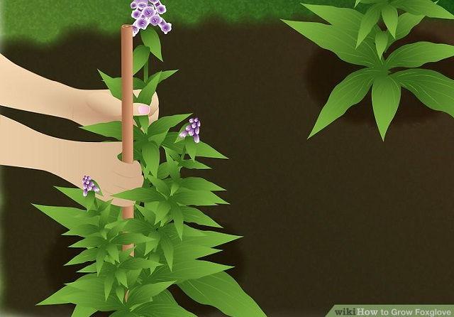 Gambar Foto Cara Menanam Foxglove dan Cara Merawatnya