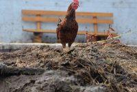 Gambar Foto Cara Membuat Pupuk Organik Padat dari Kotoran Ayam yang Baik dan Benar