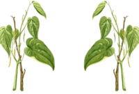 Gambar Foto Manfaat Daun Sirih Sebagai Obat Herbal