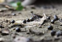 Gambar Foto Panduan Mudah Cara Membuat Pupuk Organik Padat dari Kotoran Kambing Bagi Pemula