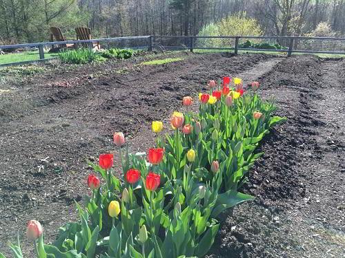 Gambar Foto Budidaya Bunga Tulip
