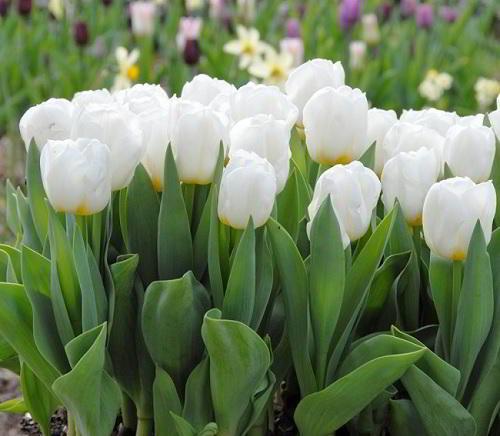 Gambar Foto Bunga Tulip Putih