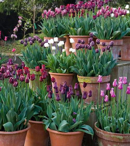 Gambar Foto Bunga Tulip Ungu