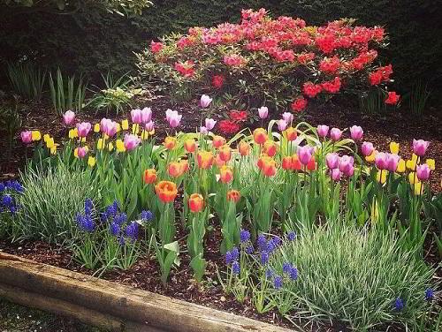 Gambar Foto Bunga Tulip Warna Warni